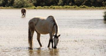 The Camargue horses